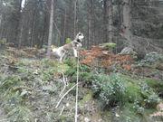 Sibirien Husky Deckrüde kein Verkauf