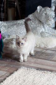 gesellige Ragdoll-Kätzchen