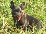Französischen Bulldogge Miniatur Rüde mit