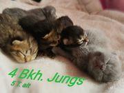 Wunderschöne reinrassige Bkh Kitten Kater