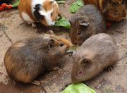 Meerschweinchen Frühkastrate aus Notstation