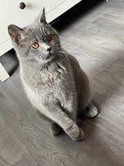 BKH Kitten wurfankündigung Reinrassig Blutgruppe