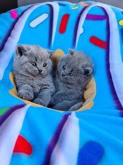 BKH - Kitten mit Stammbaum suchen