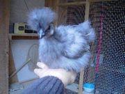 Bruteier Zwergseidenhühner blau schwarz silberwild