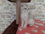 Bkh Kitten mit Stammbaum Abgabebereit