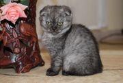 Süße Scottish Fold Kitten suchen