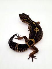 Black Night NZ 21 leopardgecko