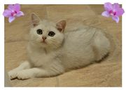 BKH Kitten Katzenbabys in silver-shaded -