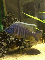 Blauer Aulonocara - Barsch