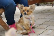Junge Chihuahua Tibet Spaniel Mix