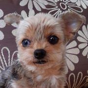 Lillylein ca 7 Jahre - Mini Yorkshire-Terrier