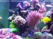 Korallenableger LPS SPS Weichkorallen
