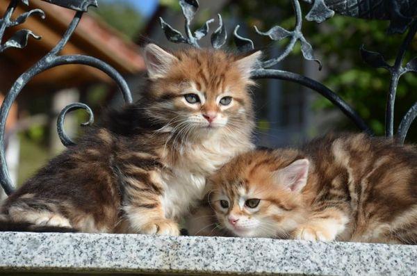 Sibirische waldkatze kaufen