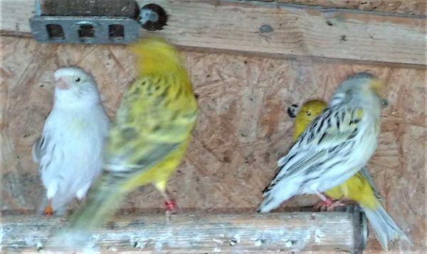 Kanarienvögel aus Außenvoliere