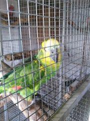 Gelbflügel - Blaustirnamazonen Paar