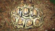 Pantherschildkröte 11 Jahre 24 cm