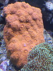 Verschiedene Korallenableger abzugeben