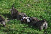 Cairn Terrier Welpen 4 Rüden