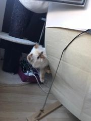 Reinrassige Perser Katze mit Nase