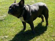 französischer Bulldoggen rüde in blau