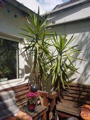 2 schöne Jucca Palmen zu