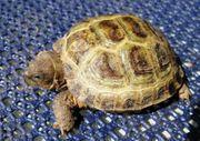 Vierzehen Russische Landschildkröten