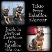 7 Zuckersüße Französische Bulldoggen Welpen