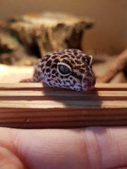 Leopardgeckos und Zubehör abzugeben