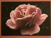 NEU Leinwandbild Rose schwarz rosa
