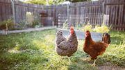 Suche einen Gartengrundstück für Hühnerhaltung