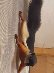 Prevosti Dreifarbenschönhörnchen