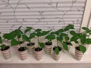 Aji Charapita 20cm Chili Pflanze