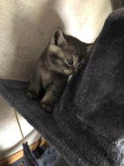 BKH Kitten Black - Smoke Black -