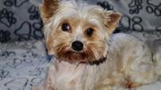 White Ocean Perl Yorkshire Terrier
