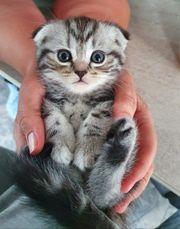 Scottish Fold Kitten reinrassig