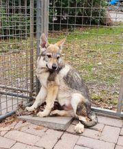 Tschechoslowakische Wolfshunde