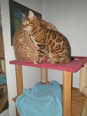 Bengal Katze mit Stammbaum