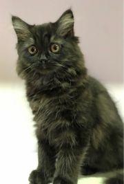 BKH- Scottisch Fold Kitten