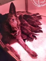 Deutsche Schäferhund Welpen zu verkaufen
