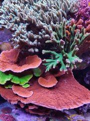 Montipora Meerwasser Aquarium Korallen