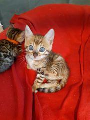 Bengal kitten mit Stammbaum katze