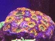 Meerwasser Koralle Chalice Reserviert