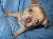 Wunderschöner Chihuahua Welpen Rüden