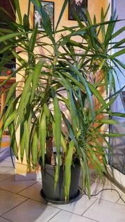 Yucca Palme im Pflanzentopf Riesen-Palmlilie