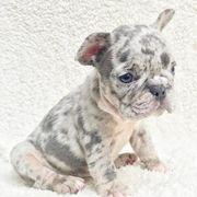 französischer Bulldoggenwelpe