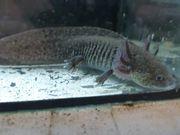 Axolotl Wildlinge 16 -18 cm