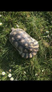 Breitrandschildkröte weiblich 12 Jahre