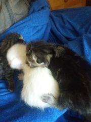 Katzen Babys abzugeben Birma Ragdoll