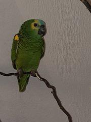 Gelbflügel-Blaustirnamazonen Hahn 1 Jahr alt