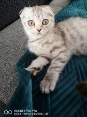 bkh weiblich Katze
